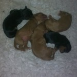 Cyda's puppies - 3 days old today