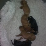 Cyda's pups 6 days old