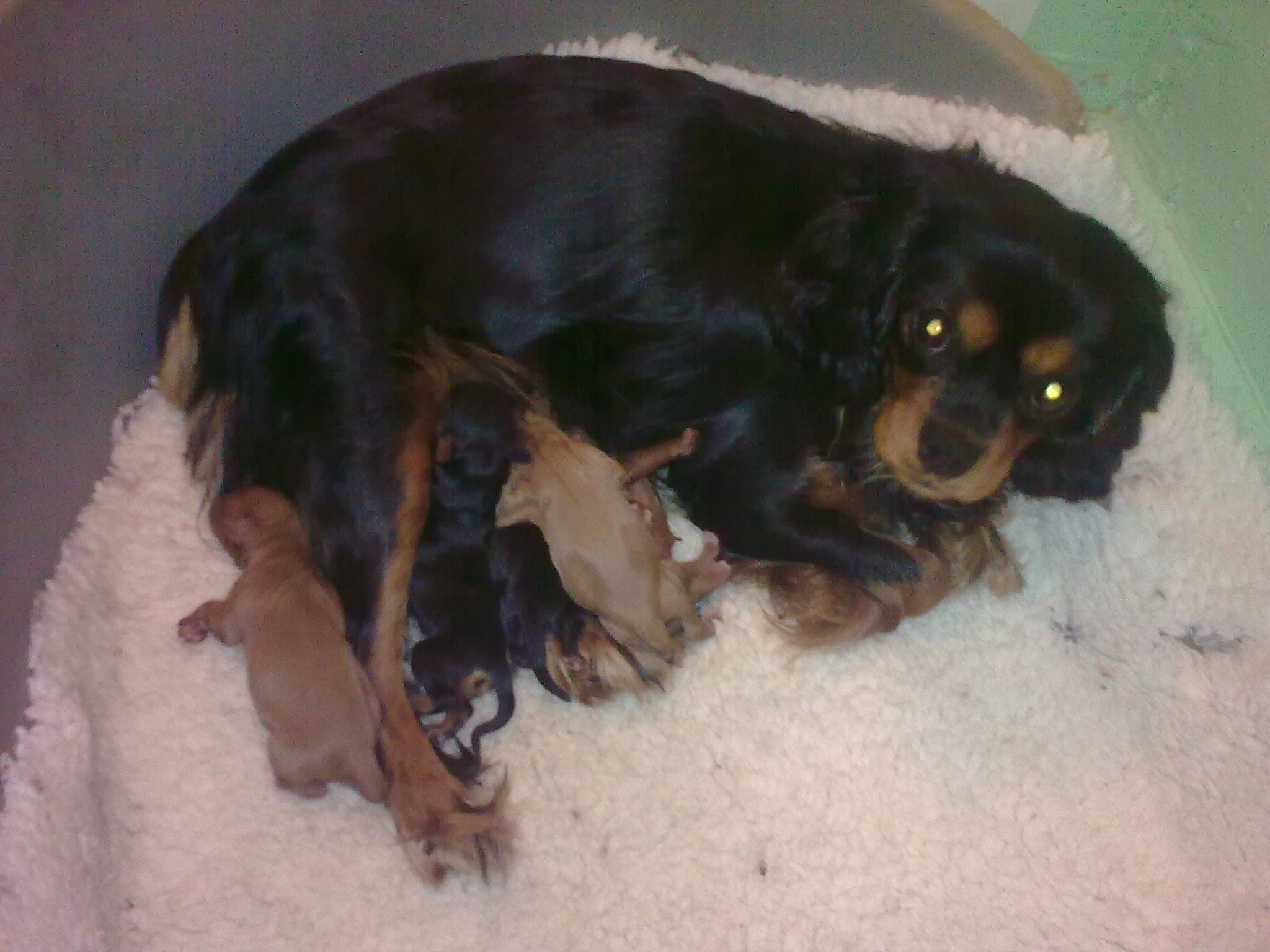 Cyda with puppies 1 day old
