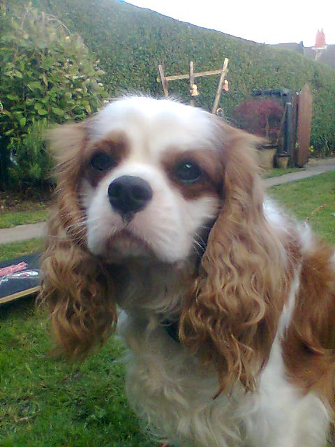... Cavalier King Charles Spaniel  Blenheim (named after Blenheim Palace) 81a84c0a26