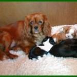Heronbank Puppies