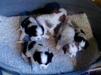 Heronbank puppies