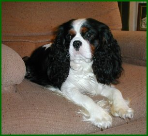 Colours in the modern Cavalier King Charles Spaniel - Heronbank ... 9506494f8d