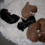 Cavalier Puppies at three and a half weeks