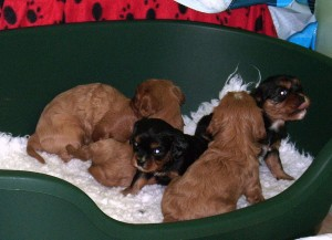 Cavalier puppies at nearly 5 weeks old