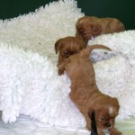 Cavalier puppies at almost 5 weeks, finding their way around
