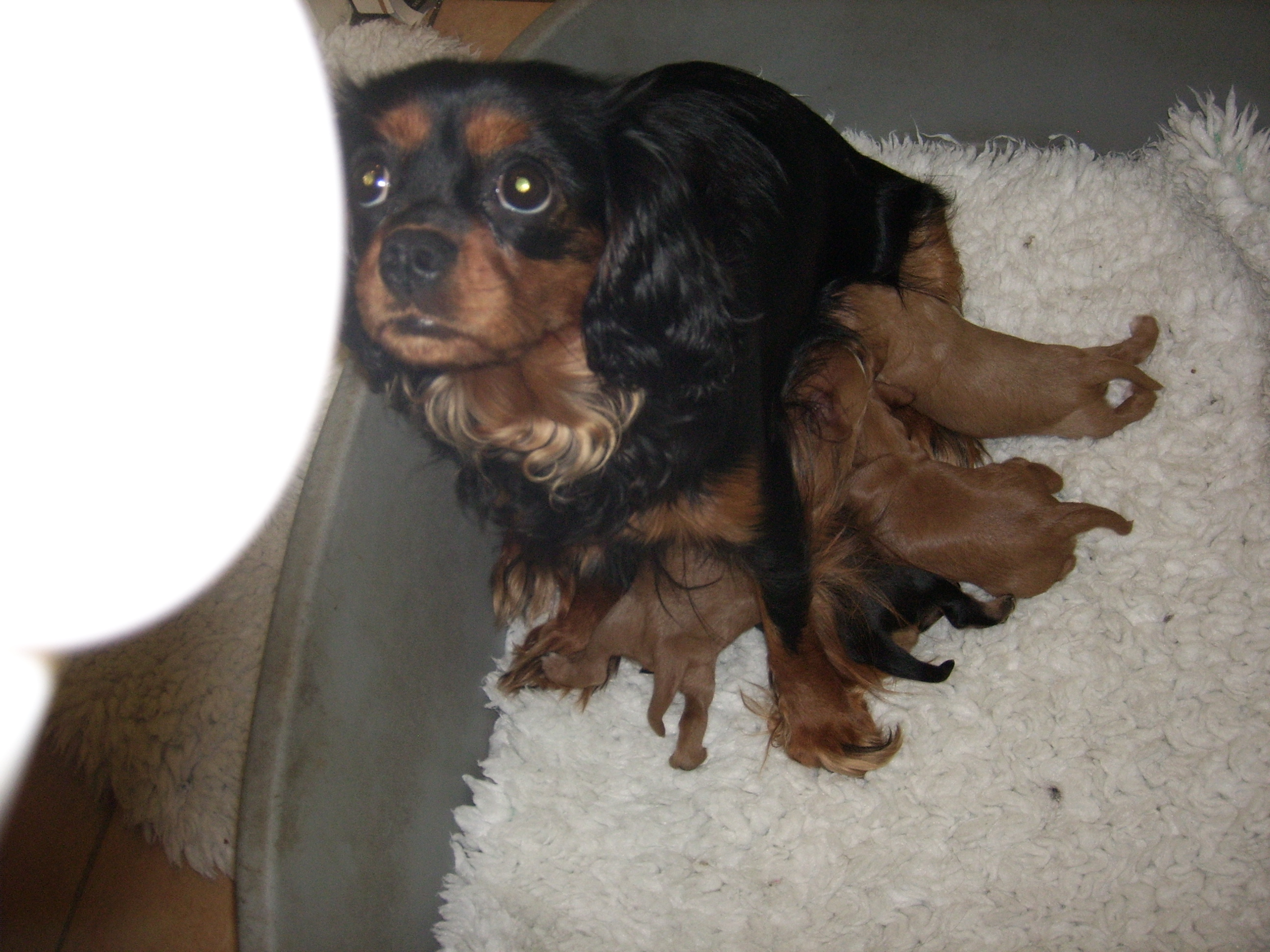 Cyda and her puppies - day 12
