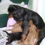 Cavalier puppies 4 weeks old
