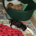 Cavalier pups have trashed their pen