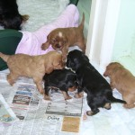 Cyda's Cavalier Puppies at four and a half weeks old