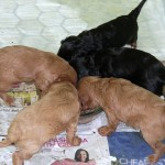 Cavalier puppies at nearly 5 weeks, feeding