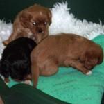 Cavalier puppies getting into mischief