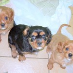 cavalier puppies at 9 weeks old