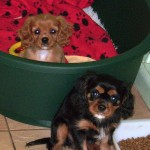 9 week old cavalier puppies