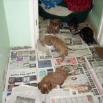 Cavalier puppies at 7 weeks