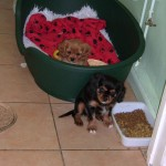 Cyda's puppies at 9 weeks old