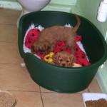 Cavalier puppies at 9 weeks old
