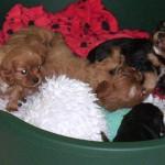 cavalier pups at 6 weeks