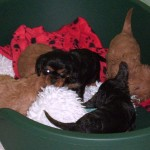 cavalier spaniel puppies at 6 weeks