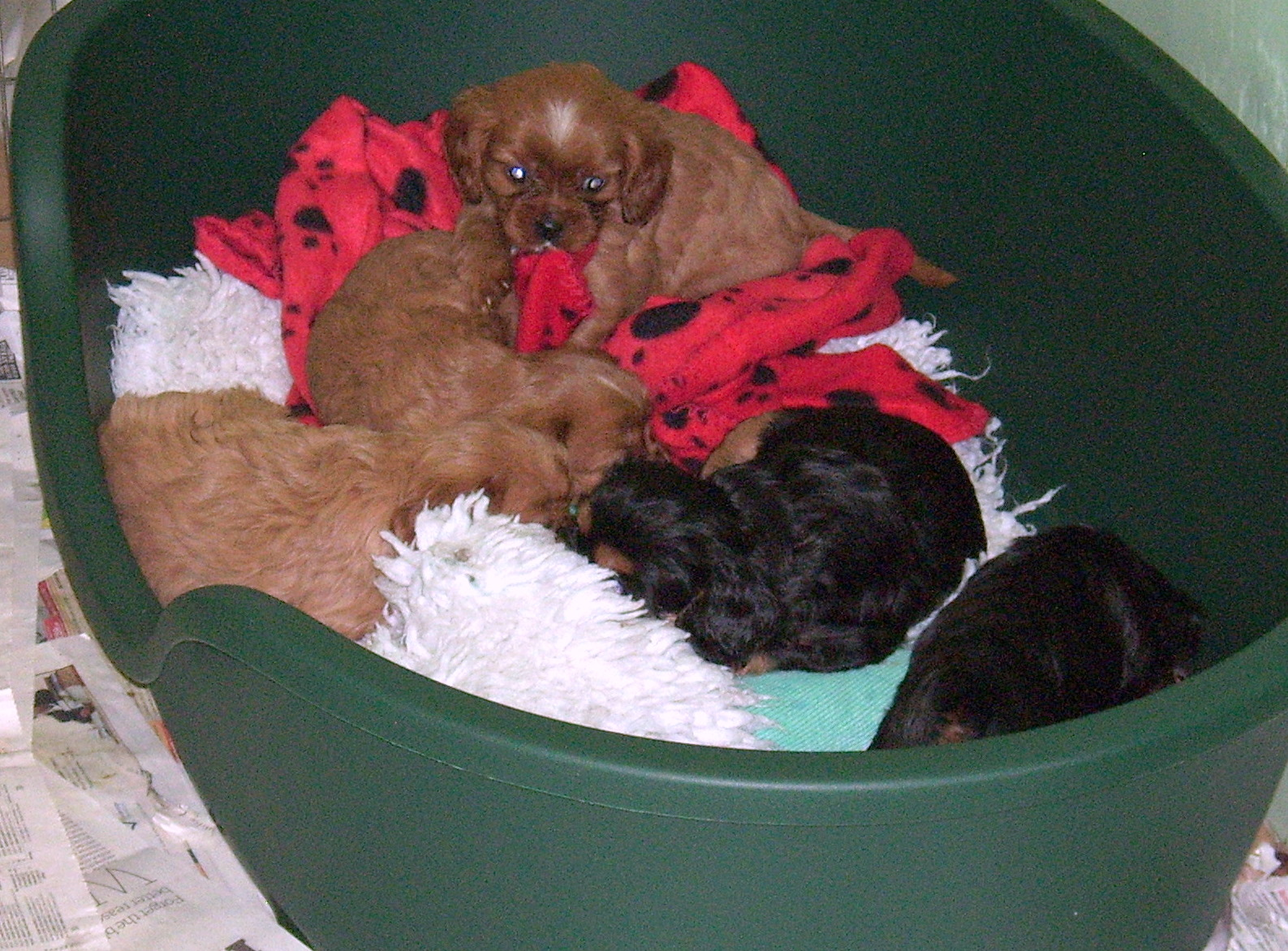 cavalier pups at 6 weeks