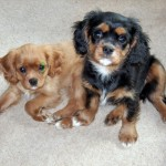 Cavaliers Skully and Herald - cute as buttons!