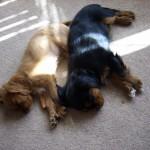 Cavalier puppies Skully and Herald asleep in the sun