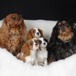 Chocolate Box Cavaliers