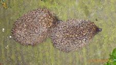 Hedgehogs on my doorstep