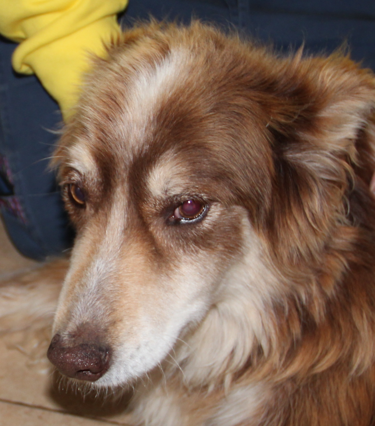 Elderly Abandoned Collie – Tribute
