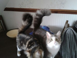 Persian kittens Hollie and Socks