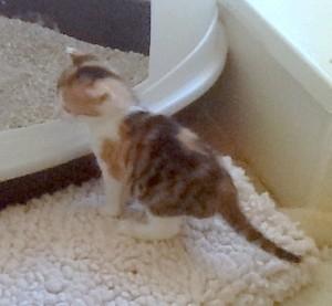 kitten & litter box