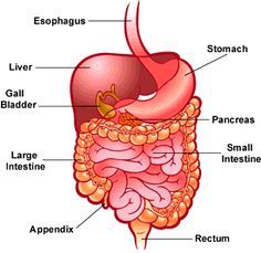 digestive system - human