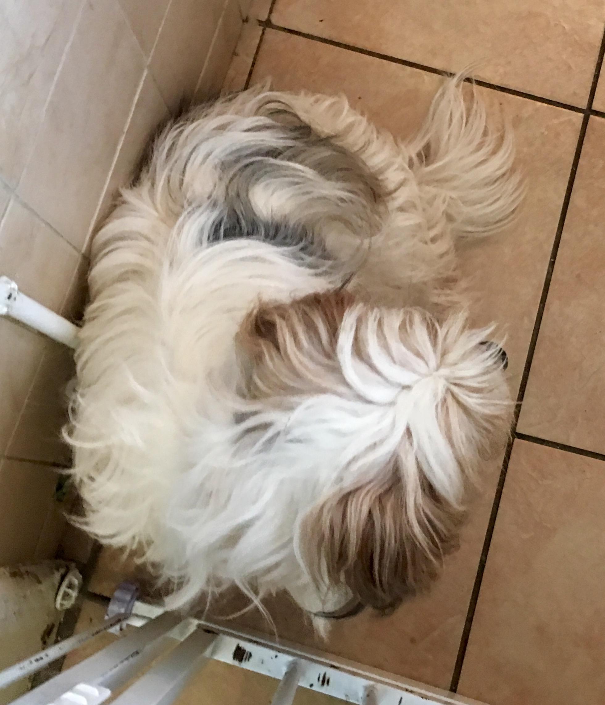 New rescue dog in Heronbank - Heronbank Cavaliers